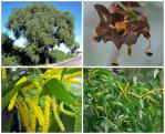 acacia auriculiformis semi