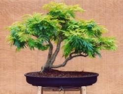 Semi di Acacia Retinodes