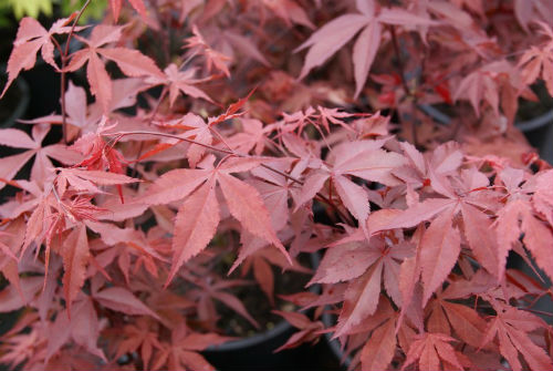 Semi di Acero Palmato Fire Glow (Acer palmatum Fire Glow)