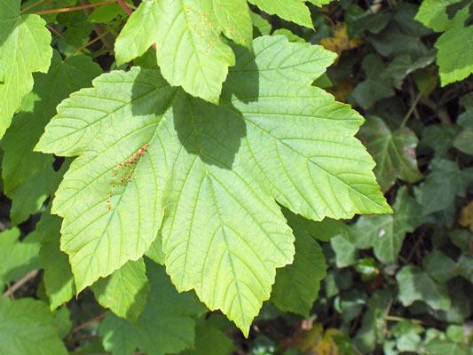 Negozio bonsai semi di acero pseudoplatanus sicomoro for Foglia acero