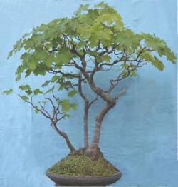 Semi di Acero Pseudoplatanus (Sicomoro, Acero di Monte)
