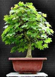 Semi di Acero Riccio (Acer Platanoides)