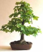 Semi di Acero da Zucchero (Acer Saccharum)
