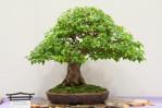 Semi di Acero Tridente (Acer buergerianum)