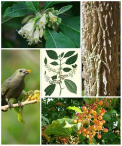 Semi di Wild Tobacco (Acnistus arborescens)