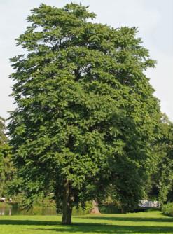 Confezione da 20 semi di Albero del Paradiso (Ailanthus glandulosa)