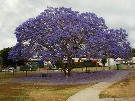 Negozio bonsai semi di albero glicine jacaranda mimosifolia for Glicine bonsai prezzo