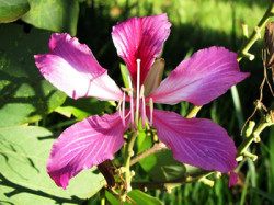 Semi di Albero Orchidea - Bauhinia Purpurea