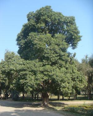 Semi di Albero del Diavolo (Alstonia Scholaris)