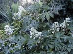 Semi di Aralia (Fatsia japonica)