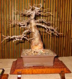 Semi di Baobab Africano (Adansonia Digitata)