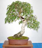 Semi di Betulla (Betula Alba)