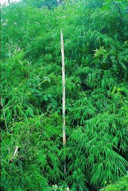 Semi di Bamboo Gigante (Dendrocalamus Strictus)