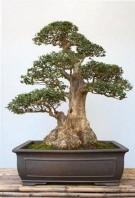 bonsai-olivo_N1