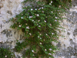 Semi di Cappero (Capparis spinosa)