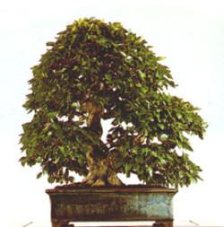 Semi di Carpino Nero (Ostrya Carpinifolia).