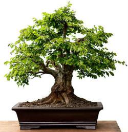 Semi di Carpino Orientale (carpinus orientalis)