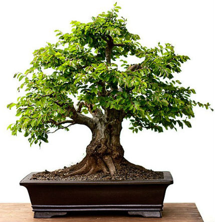Negozio bonsai semi di carpino orientale carpinus for Vendita on line bonsai