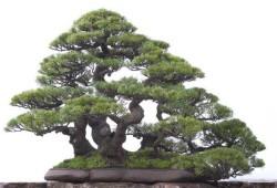 Semi di Casuarina (Cunninghamiana Tropical Oak)
