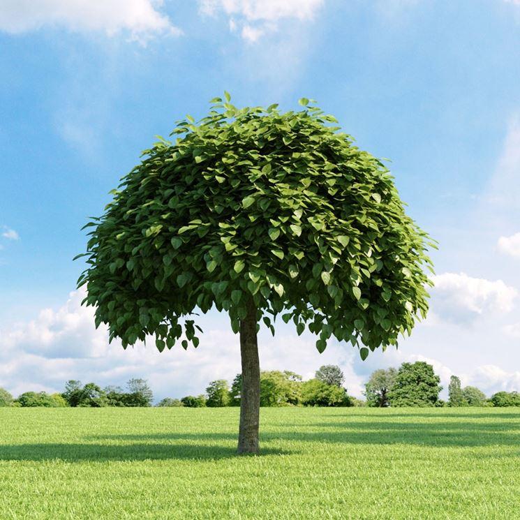 Negozio bonsai semi di catalpa catalpa bignonioides for Alberi a crescita veloce