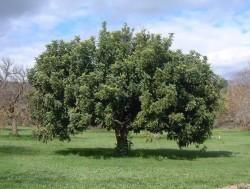 Semi di Carrubo (Ceratonia siliqua)