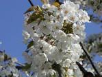 Semi di Ciliegio Selvatico (Prunus avium)