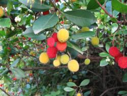 Semi di Corbezzolo (Arbustus Unedo)