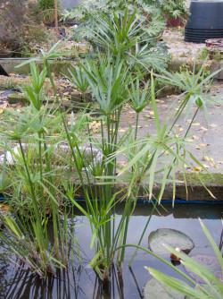 cyperus-alternifolius-003