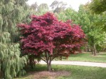 Semi di Acero Rosso Giapponese (Acer palmatum atropurpureum)
