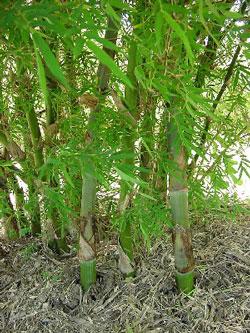 Negozio bonsai semi di bamb gigante dendrocalamus strictus for Semi bambu gigante