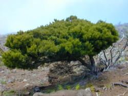 Semi di Dodonaea Viscosa