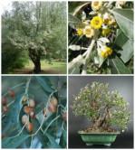 Semi di Olivo di Boemia (Elaeagnus angustifolia)