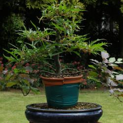 Semi di Faggio Asplenifolia (Fagus Asplenifolia)