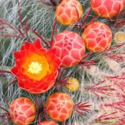 ferocactus-pilosus-fiore