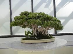 Semi di Ficus (Ficus Benghalensis)