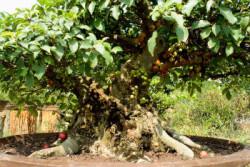 Semi di Ficus Racemosa