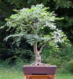 Semi di Albero della Manna (Fraxinus Ornus)