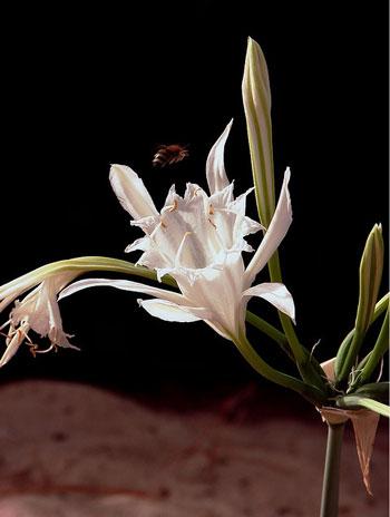Semi di Giglio di mare (Pancratium maritimum)