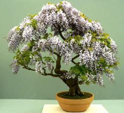 Semi di Glicine (wisteria sinensis)