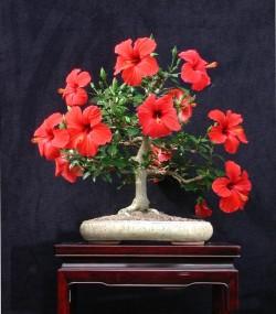 Semi di Ibisco (Hibiscus Syriacus)