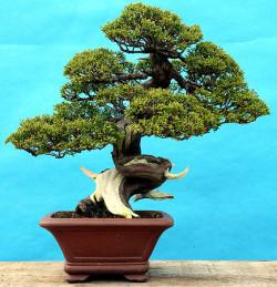 Semi di Ginepro (Juniperus Chinensis)