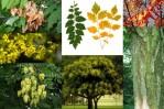 Semi di Albero dorato dell'India (Koelreuteria paniculata)