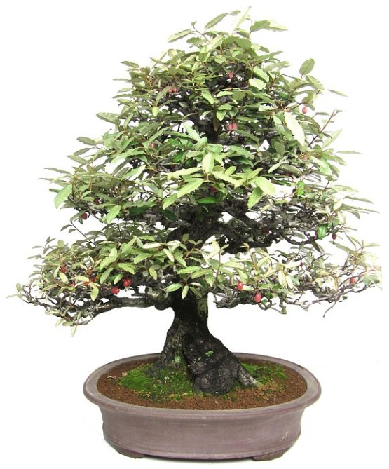 l055_oelweide_elaeagnus_angustifolia_bonsai