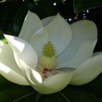 Semi di Magnolia Grandiflora