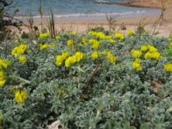 Semi di Erba medicinale marina