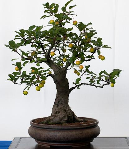 Negozio bonsai semi di melo selvatico malus sylvestris for Bonsai da frutto vendita