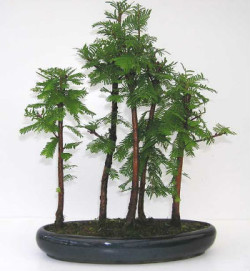 Semi di MetaSequoia (Metasequoia glyptostroboides)
