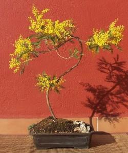 Semi di Mimosa (Acacia dealbata)
