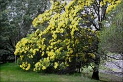 Semi di Mimosa Nera (Acacia mearnsii)