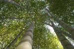 Semi di Bambù Gigante Moso (Phyllostachis edulis)